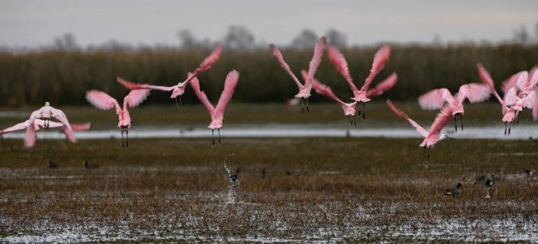 flamingos flying over the everglades